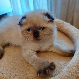 Кошки - Продам шотландских котят, 0