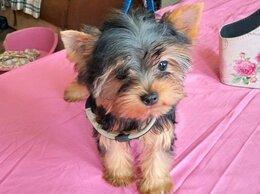 Собаки - Йорк мальчик  5 месяцев, 0