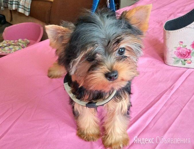 Йорк мальчик  5 месяцев по цене 20000₽ - Собаки, фото 0