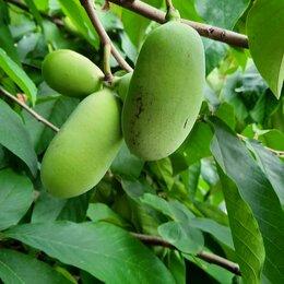 Рассада, саженцы, кустарники, деревья - Азимина трехлопастная банановое дерево, 0
