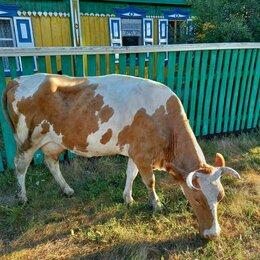 Сельскохозяйственные животные и птицы - Продам корову, 0