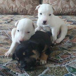 Собаки - Продаются щенята помеси Ротвейлера Pitbull mix + Лайка 1 месяц., 0