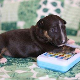 Собаки - Щенки миниатюрного бультерьера, 0