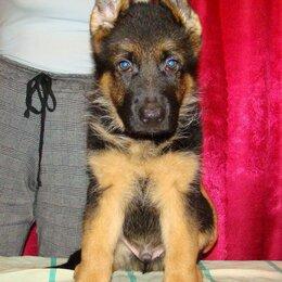 Собаки - Немецкая овчарка щенки, 0
