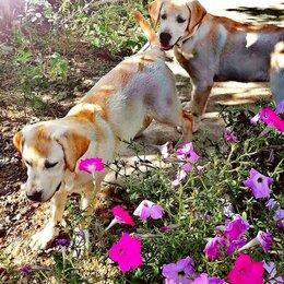 Собаки - Щенки лабрадора ретривера палевого окраса, 0