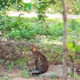 Животные - Найден кот бенгальской породы, 0