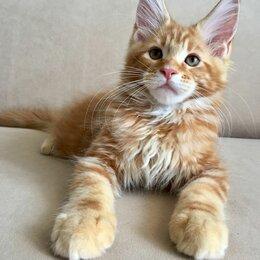 Кошки - Котенок мейн-кун мальчик с документами, 0
