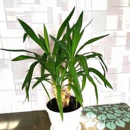 Комнатные растения - Юкка тройная, 0