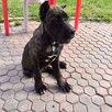 Щенки Кане Корсо по цене 20000₽ - Собаки, фото 7