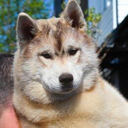 Собаки - Щенки породы Сибирский  Хаски,  от Чемпионов , 0