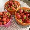 Саженцы земляники крупноплодной. по цене 70₽ - Рассада, саженцы, кустарники, деревья, фото 6