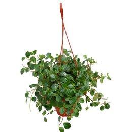 Комнатные растения - Пеперомия Глабелла, 0