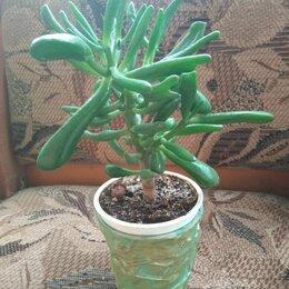Комнатные растения - Крассула овата хоббит, 0