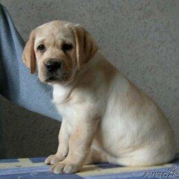 Собаки - Щенок лабрадора 2 месяцев, 0