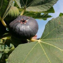 Комнатные растения - Инжир саженцы, 0