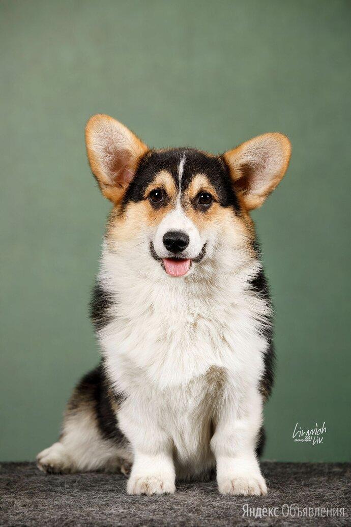Щенок Вельш корги пемброк по цене 100000₽ - Собаки, фото 0