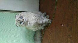 Кошки - Продам кота на шатланца, 0