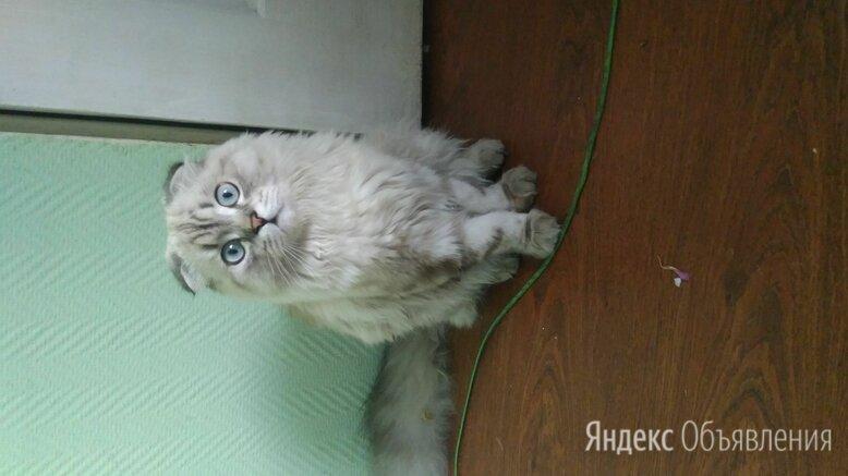 Продам кота на шатланца по цене 3000₽ - Кошки, фото 0