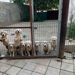 Собаки - Золотистый ретривер, 0