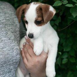 Собаки - Джек рассел терьер щенок, 0