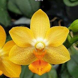 Комнатные растения - Орхидея, фаленопсис Phal. Yaphon Cupid Ароматный, 0