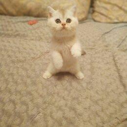 Кошки - СЕРЕБРИСТАЯ ЗЕЛЕНОГЛАЗАЯ ШИНШИЛЛА , 0