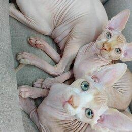 Кошки - Котята Канадского сфинкса красный окрас, 0