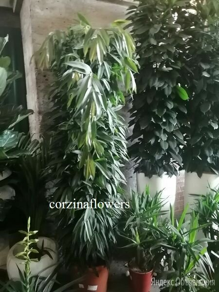 Фикус Амстел Кинг на решетке 220-250 см по цене 98000₽ - Комнатные растения, фото 0