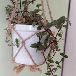 Комнатные растения - Традесканция Каллизия (лат.Tradescantia Callisia), 0