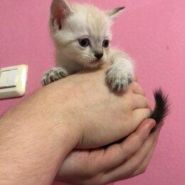 Кошки - Котята ручные, 0