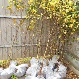 Рассада, саженцы, кустарники, деревья - Береза обыкновенная с доставкой от 100 штук, 0