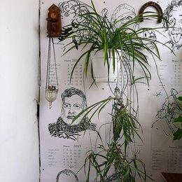 Комнатные растения - Цветок хлорофитума, 0