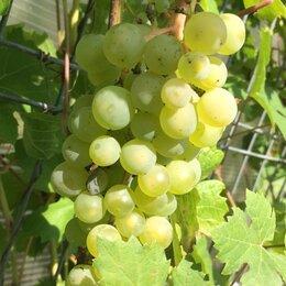 Рассада, саженцы, кустарники, деревья - Черенки винограда (чубуки), 0