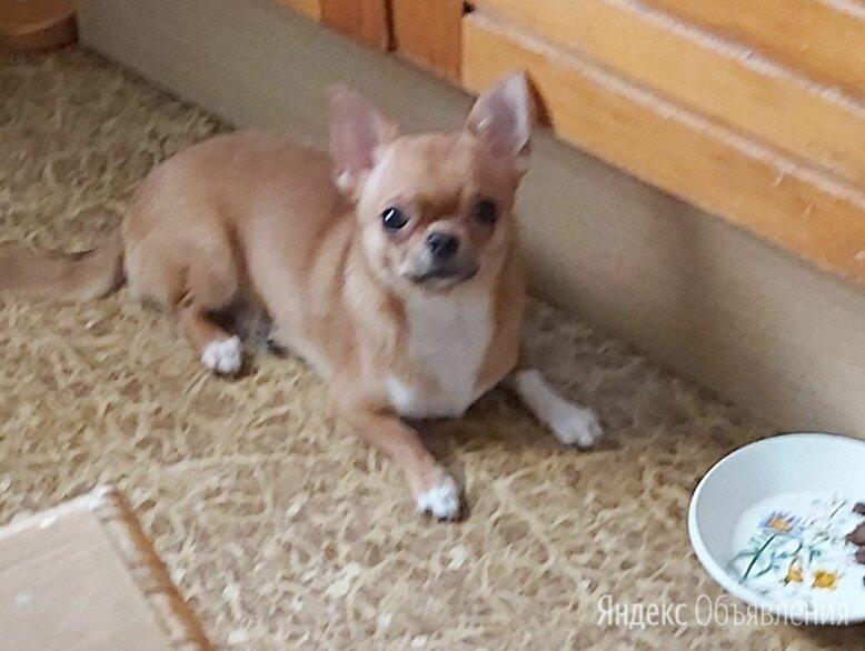 Чихуахуа кобби гладкошерстный по цене 7900₽ - Собаки, фото 0