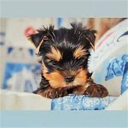 Собаки - Йоркширский терьер  красивый мальчик, 0