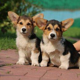 Собаки - Предлагаем щенков Вельш Корги Пемброк  красивых, крепких., 0