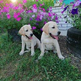 Собаки - Девочки Лабрадорочки , 0