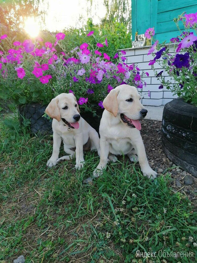 Девочки Лабрадорочки  по цене 20000₽ - Собаки, фото 0