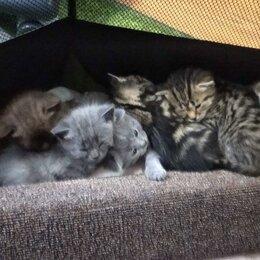 Кошки - Котята шотландцы, 0