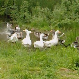 Сельскохозяйственные животные и птицы - Гуси, 0