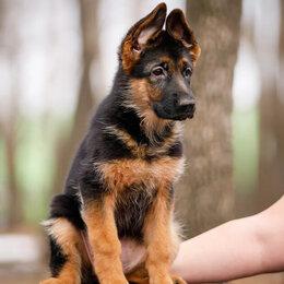 Собаки - Чистокровная немецкая овчарка, 0