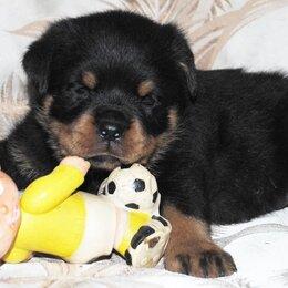 Собаки -  36 дневной щенок ротвейлера, 0