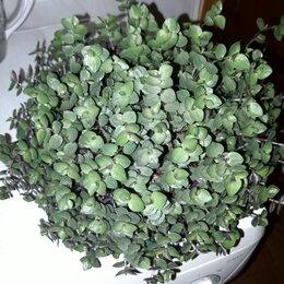 Комнатные растения - Продаю Каллизия мелколистная традесканция , 0