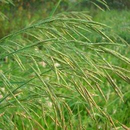 Семена - Семена Кострец безостый Сорта: взлет, 0