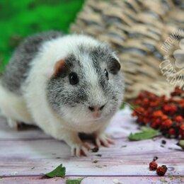 Грызуны - Морская свинка рекс, 0