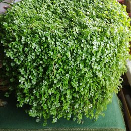 Комнатные растения - Растение комнатное солейролия, 0