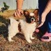 Папильон щенок , папийон девочка по цене 45000₽ - Собаки, фото 0
