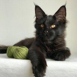 Кошки - Котик Мейн кун , 0