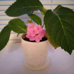 Комнатные растения - Крупнолистная гортензия , 0