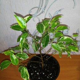 Комнатные растения - Фикус Кинки, 0